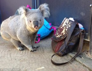 Koala in ants changing room